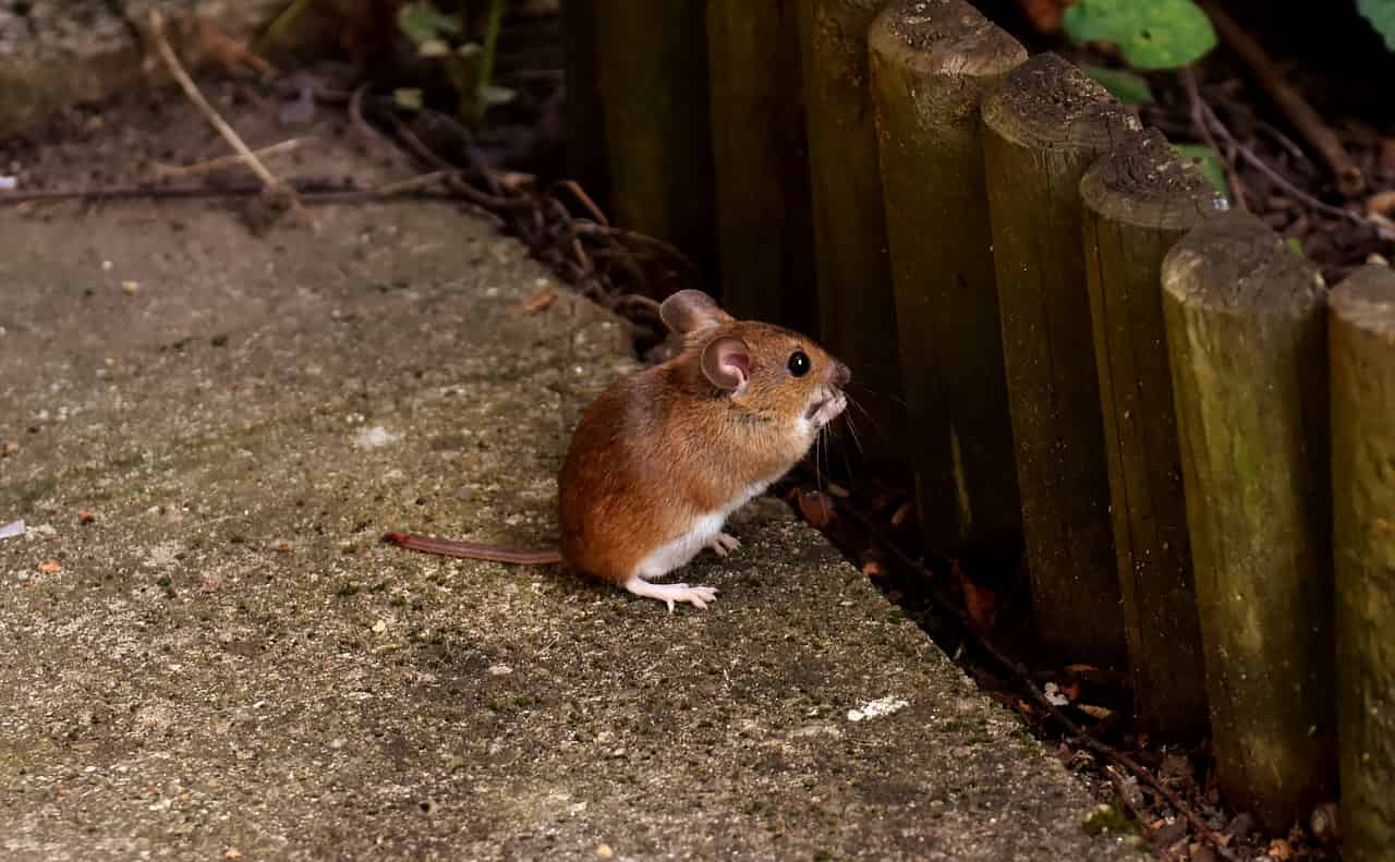 Dreams About Mice – Interpretation and Meaning