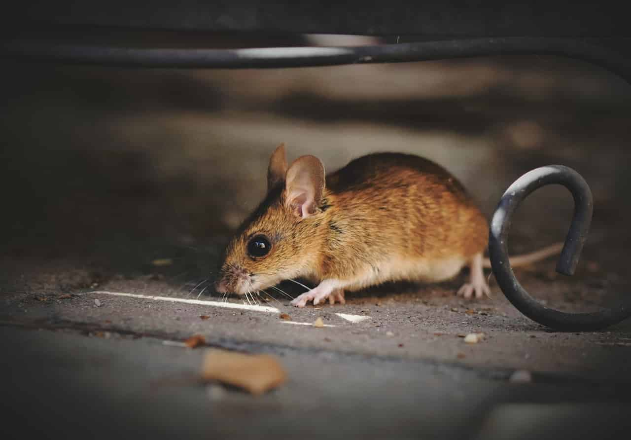 Mouse Dream Meaning and Interpretation