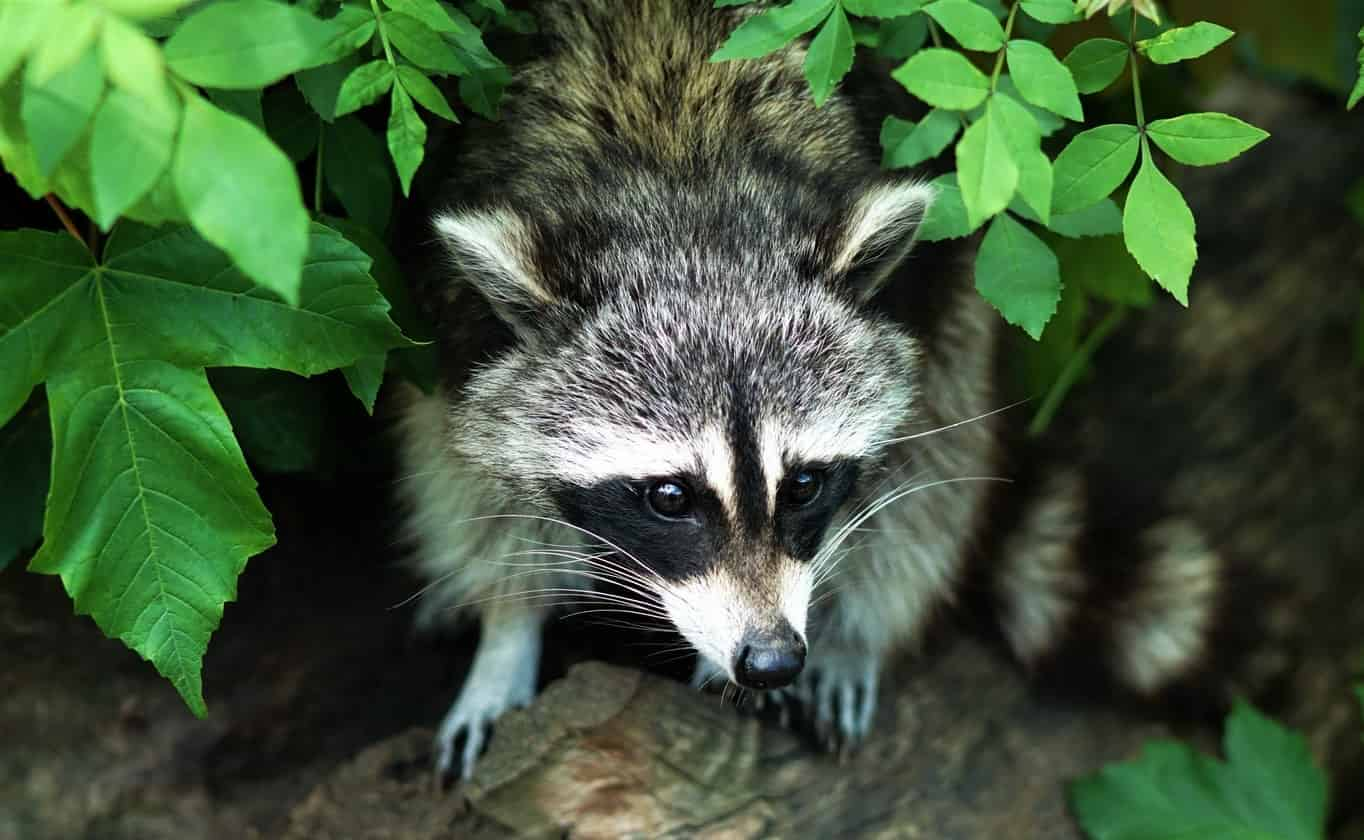 Raccoon – Spirit Animal, Symbolism and Meanings