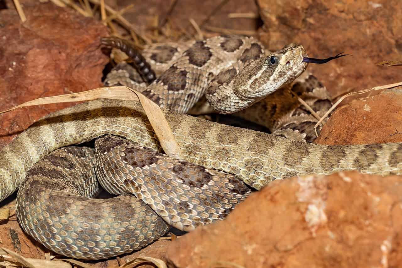 Rattlesnake dream | Dreams Meaning and Interpretation - Regular Dream