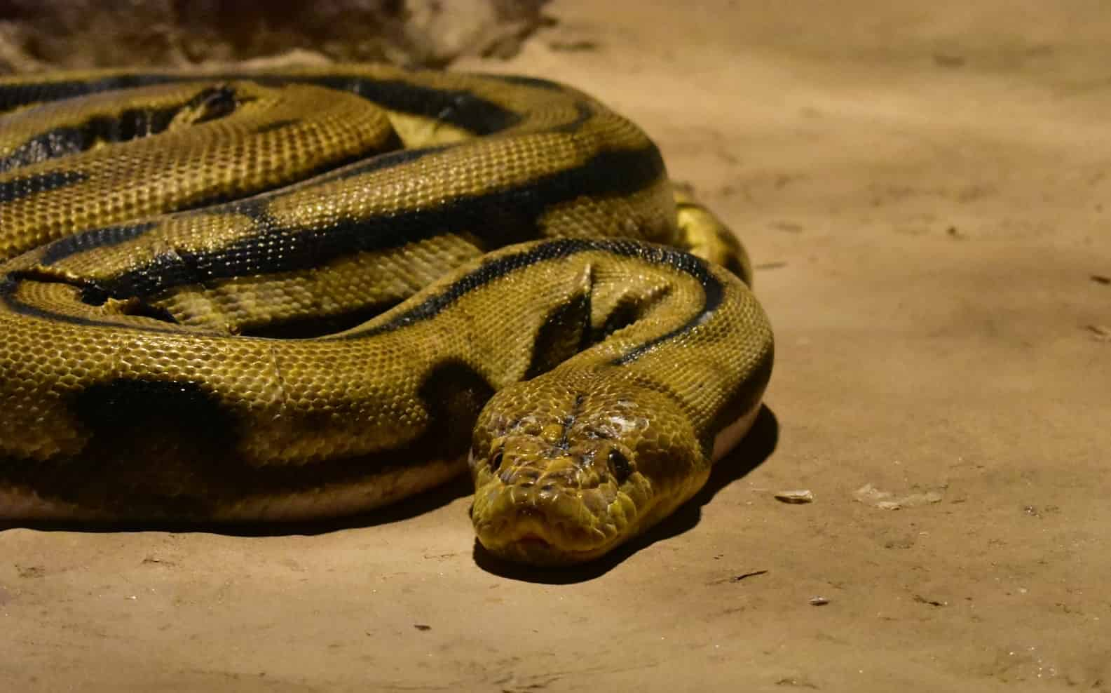 What does it mean to dream about rattlesnake