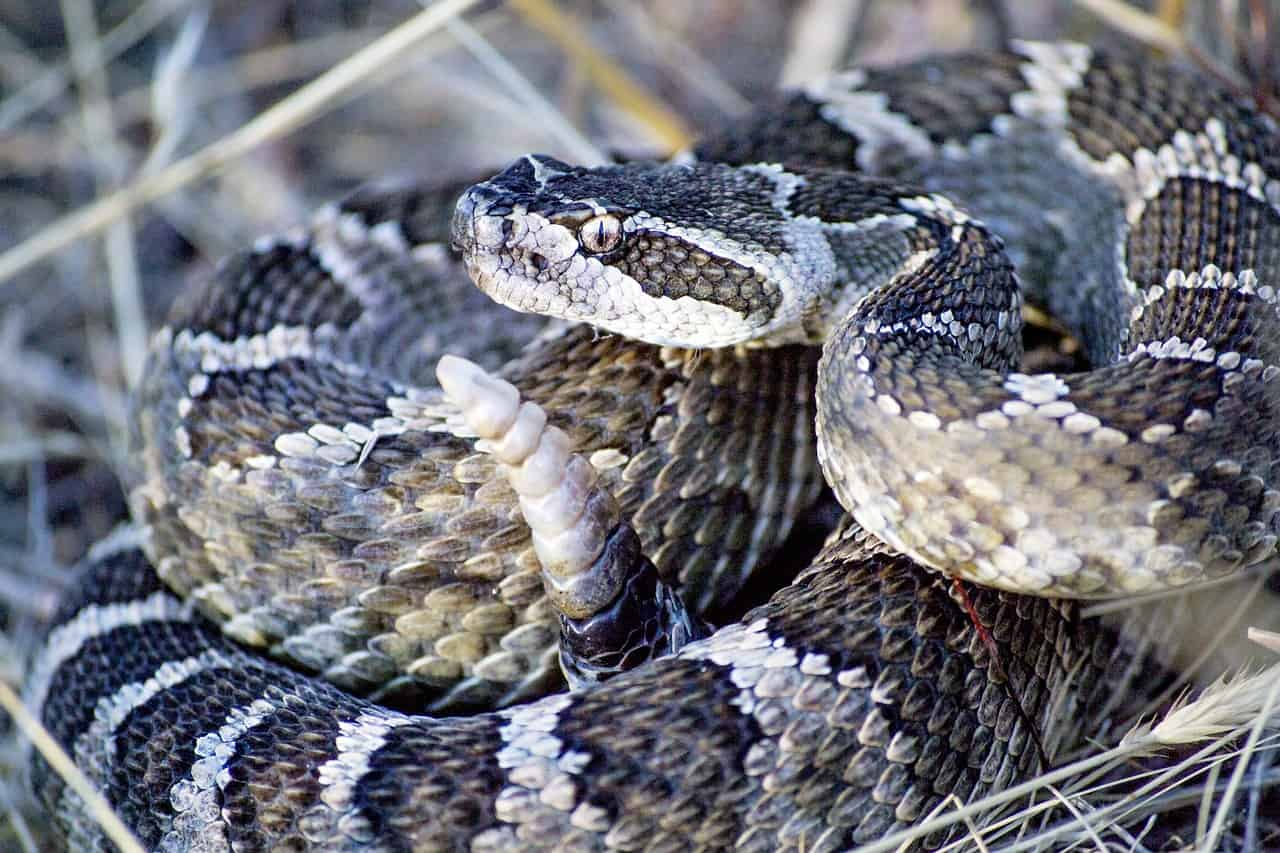 What dream of Rattlesnake means