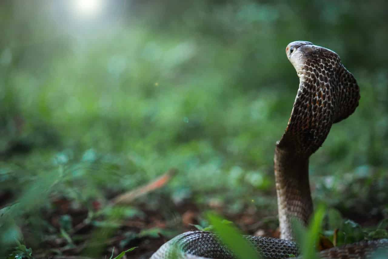 Cobra – Spirit Animal, Symbolism and Meaning