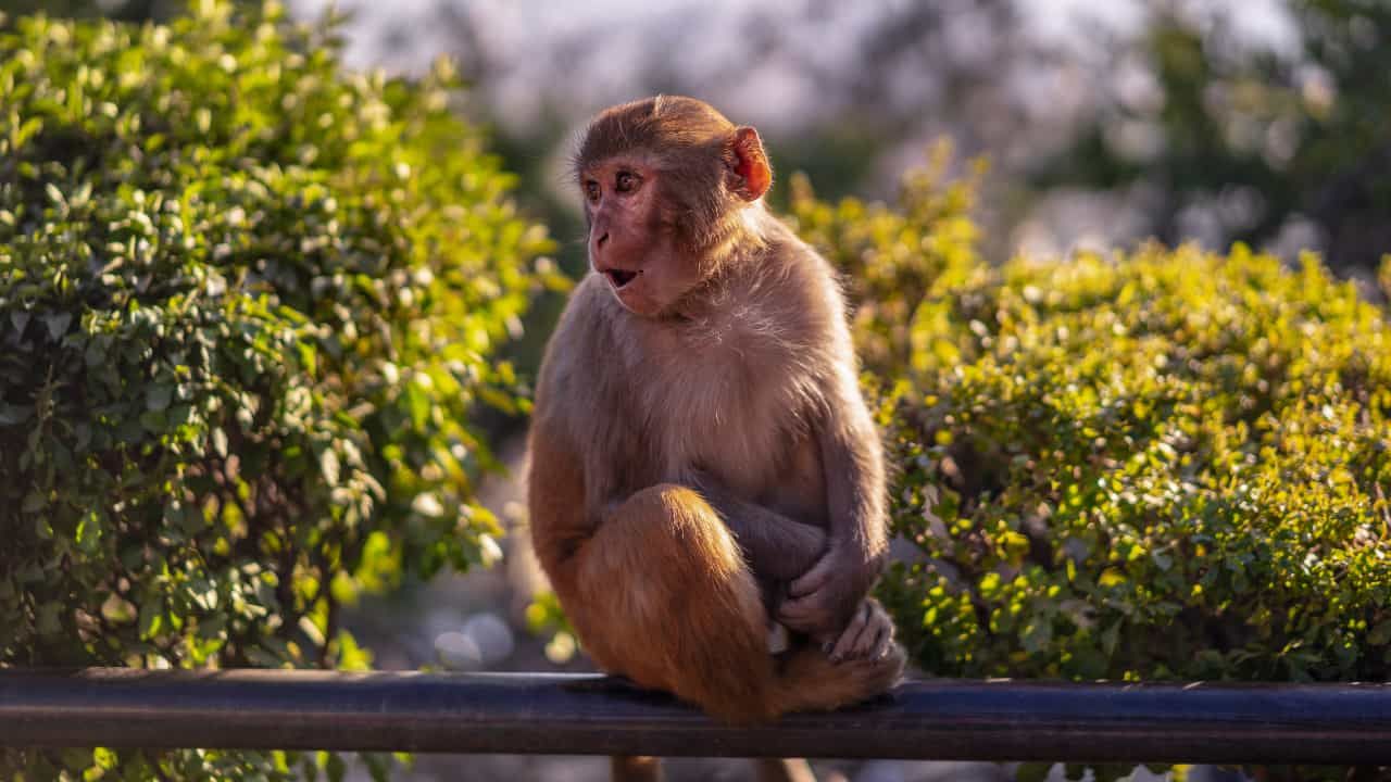 What does it mean when you dream about monkey? Does it has a positive symbolizm