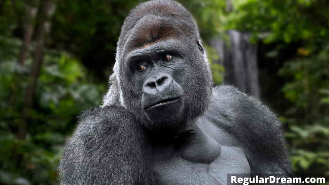Dreaming about apes and gorillas - Meaning and interpretation