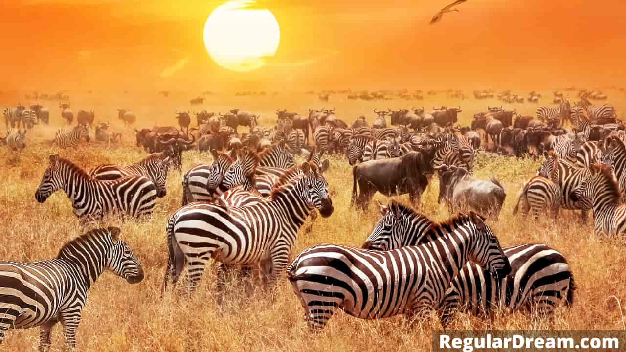 Dreaming of Zebra and herd - Meaning, Symbolism and Interpretation