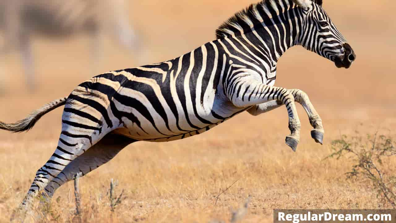Dreaming of a running Zebra - Meaning and Interpretation
