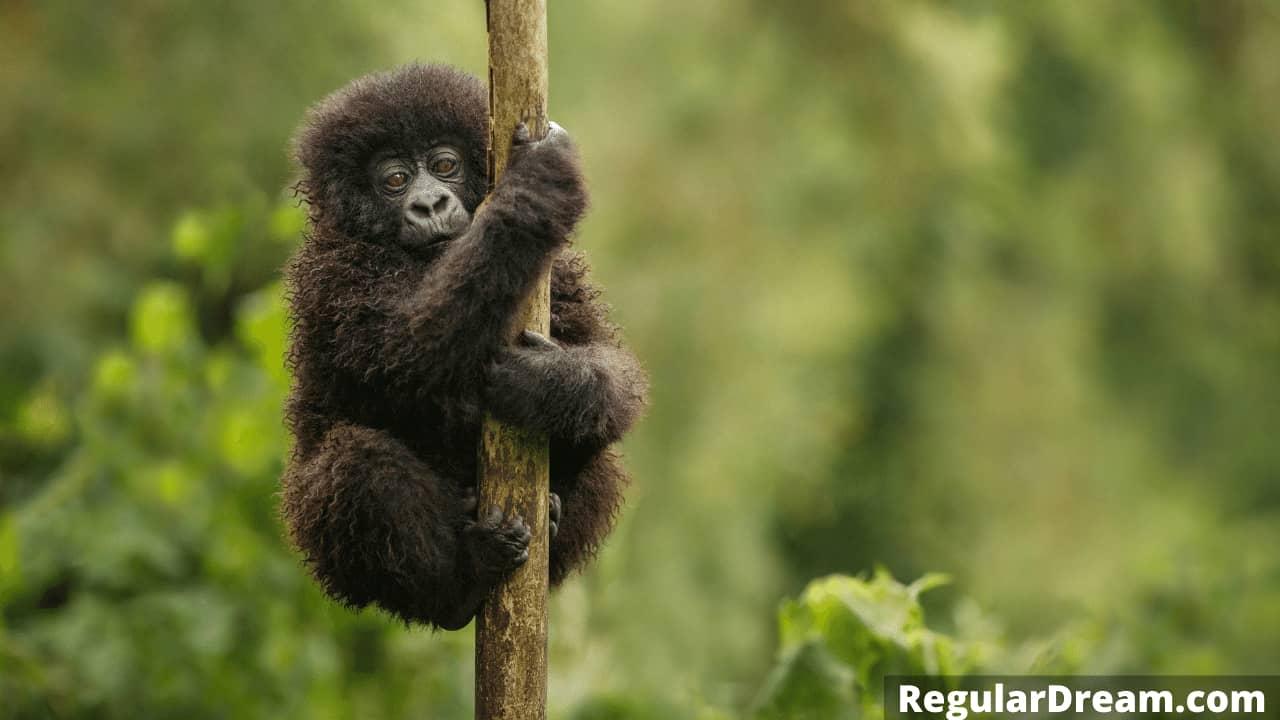 Gorilla in dream - Meaning and interpretation