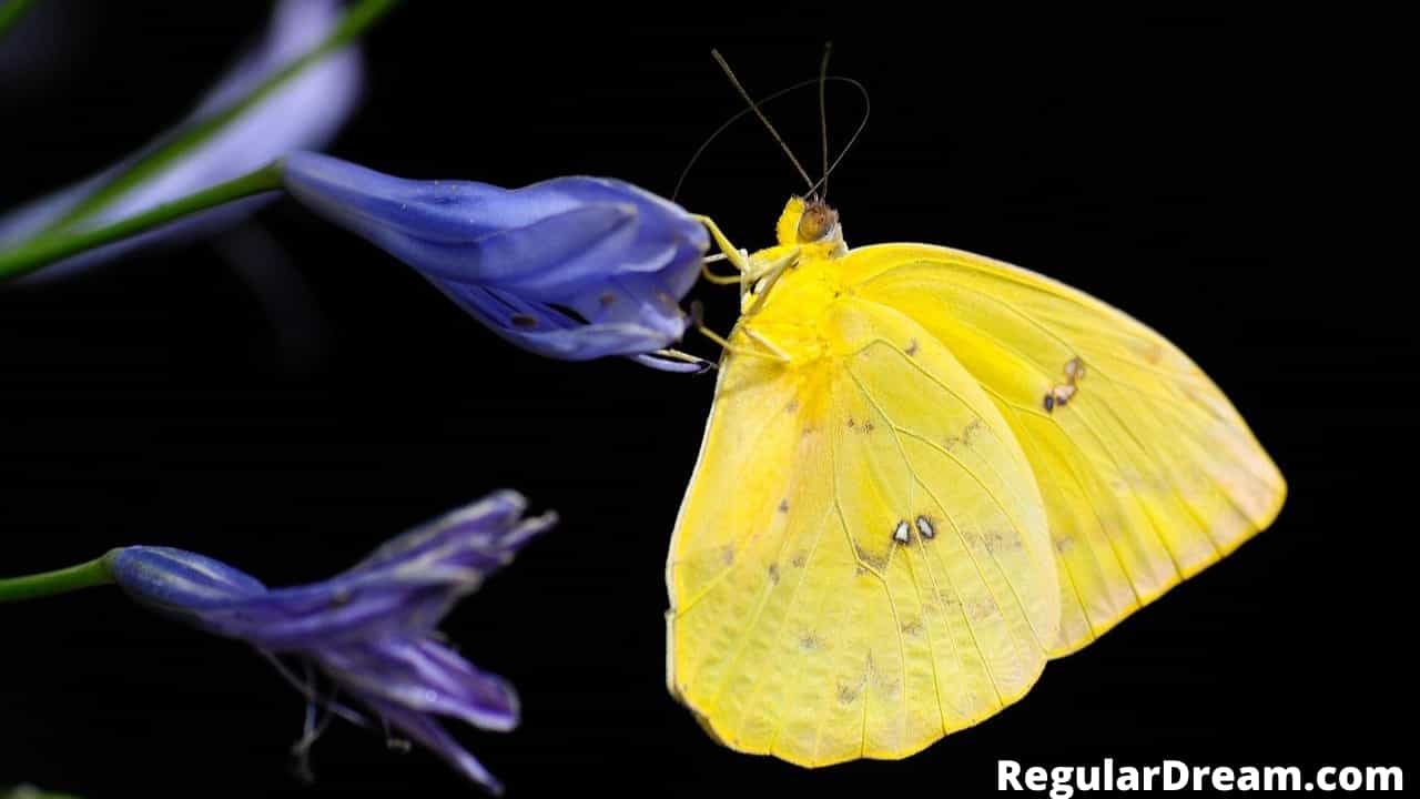 What does dream about yellow butterfly means? Regular Dream