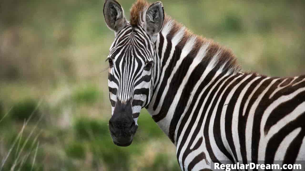 What does it mean to dream about zebra