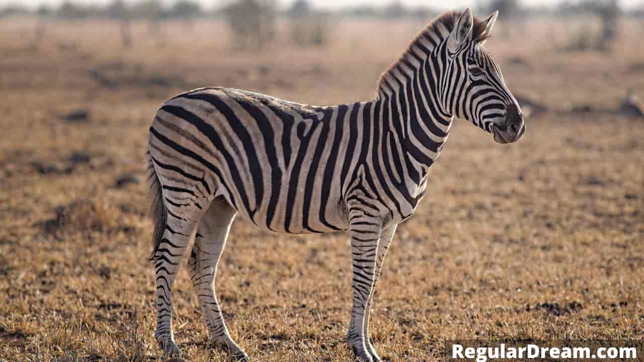 What dreaming about zebra means? Dreaming of zebra