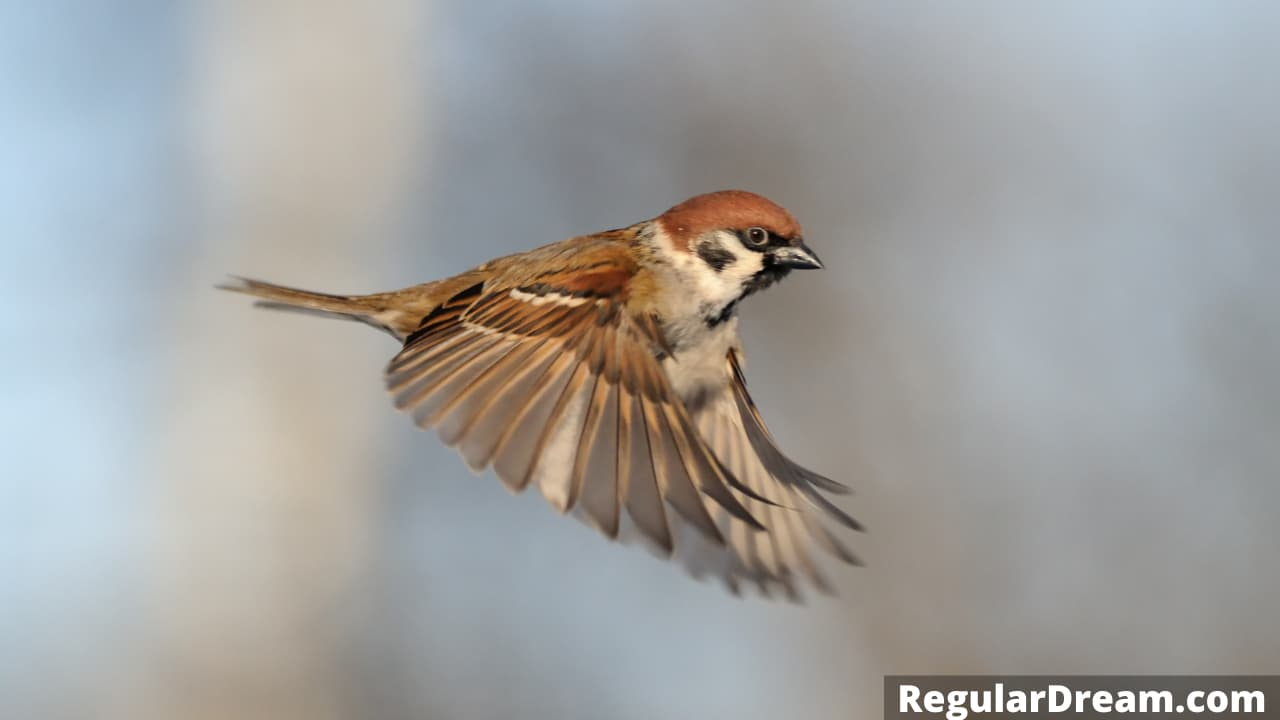 Dream of sparrow - Sparrow dream meaning and sign
