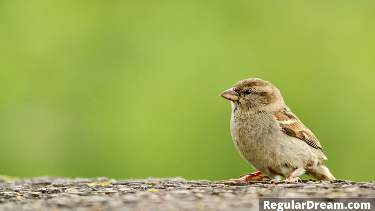 Dreams about sparrows - What does it mean to dream about sparrow