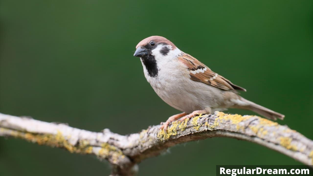Meaning and Interpretation of Sparrow Dream - Regular Dream