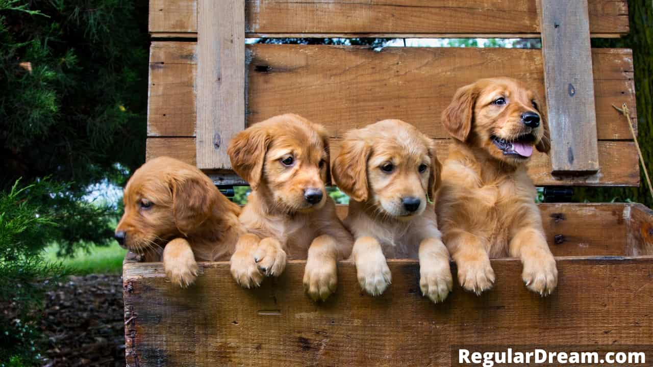 Meaning and interpretation of puppies dream - What dream about puppies mean