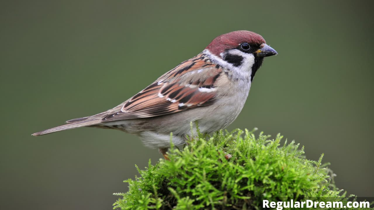What does sparrow in dream means - Dreaming about sparrow