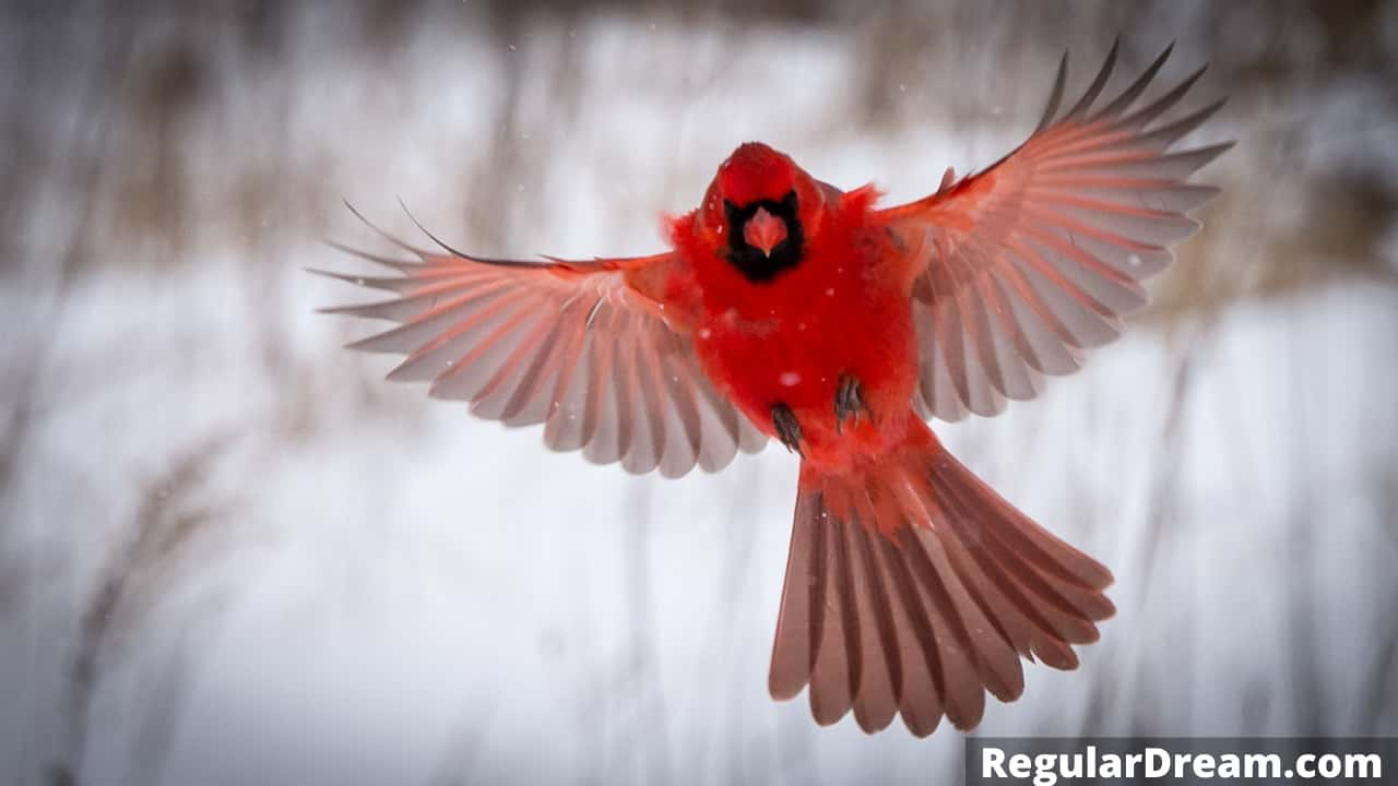 Cardinal in Dream - What does Cardinal in dream means?