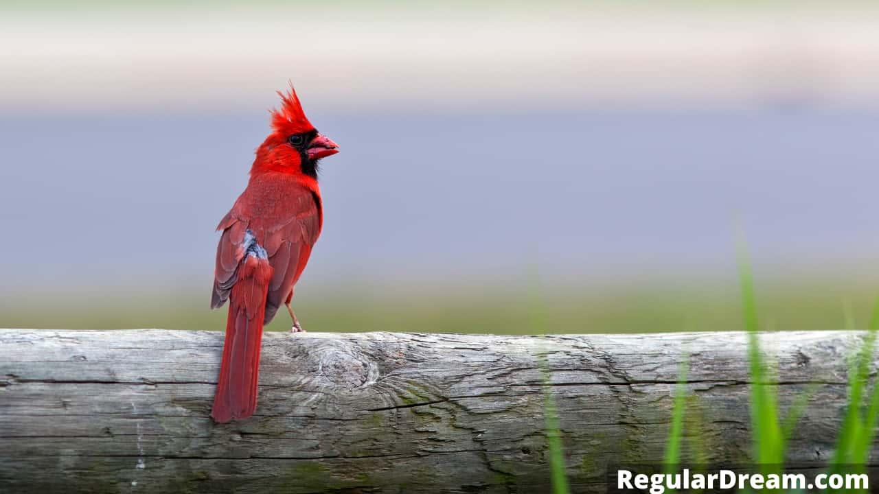 Dream interpretation of Cardinal - What does Cardinal symbolise in dream