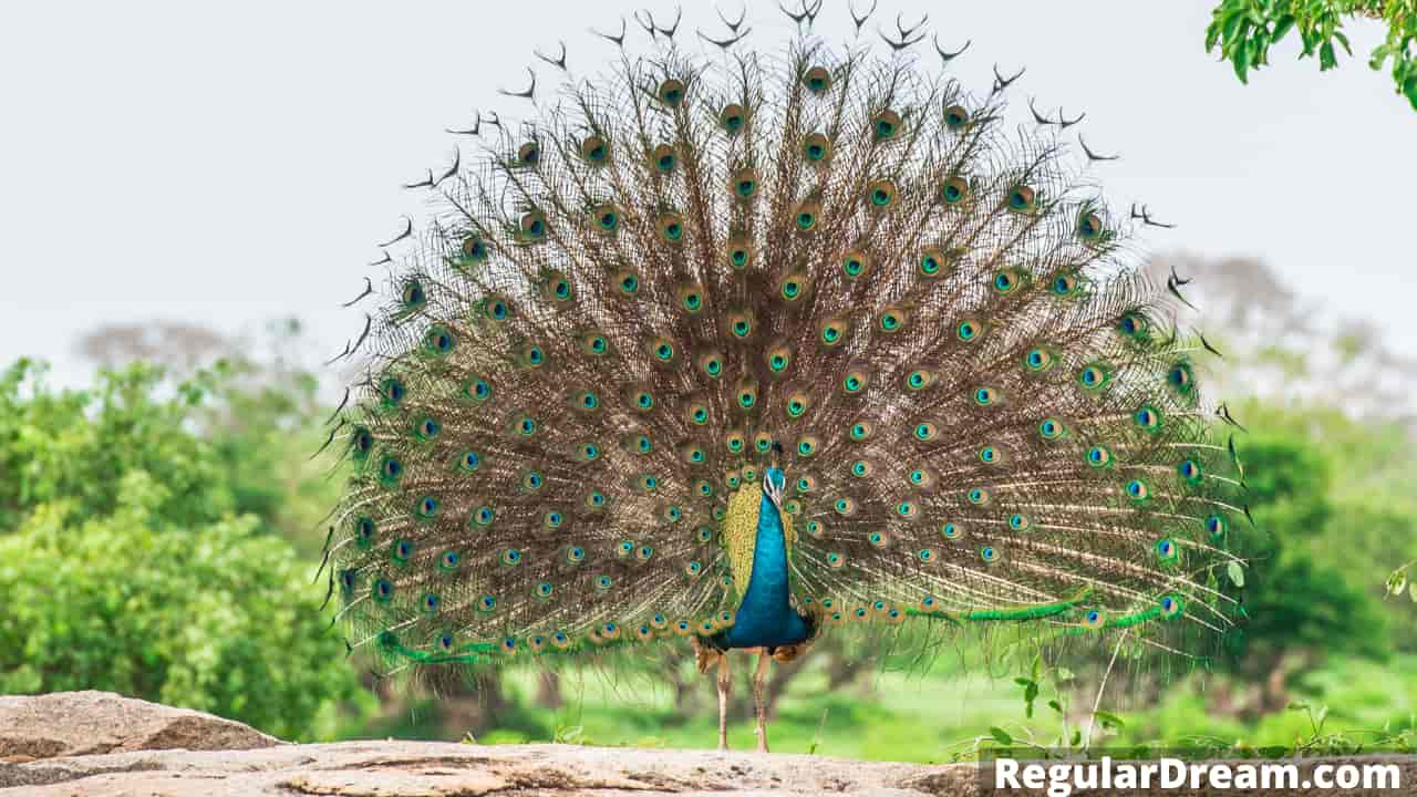 Dreaming of peacock - What does dream about peacock means and does it have special meaning