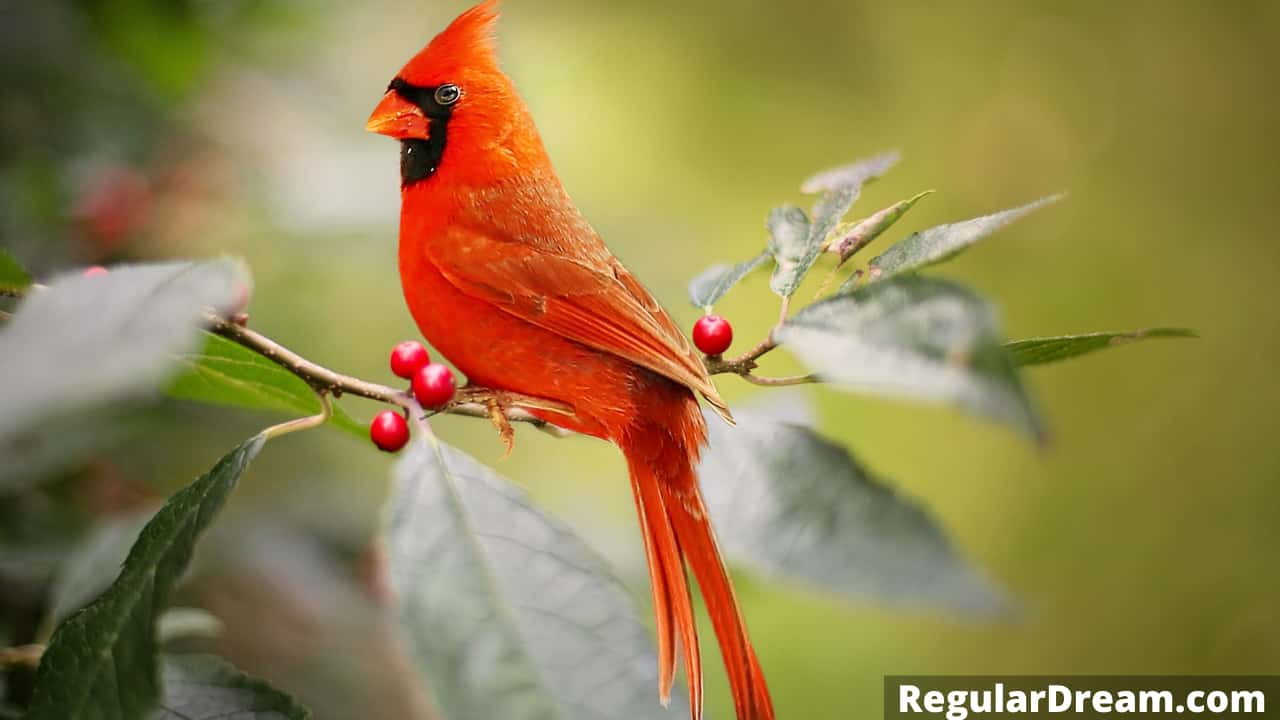 Dreams about Cardinal - Meaning and Interpretation of Cardinal Dream