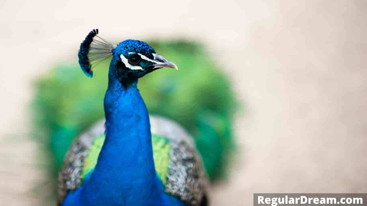 Dreams about peacock - Meaning and interpretation