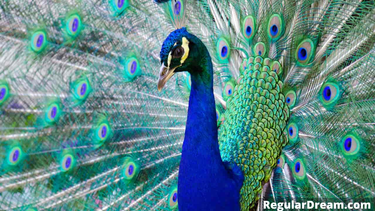 What do dreams about peacock means? Meaning and sign - Regular Dream