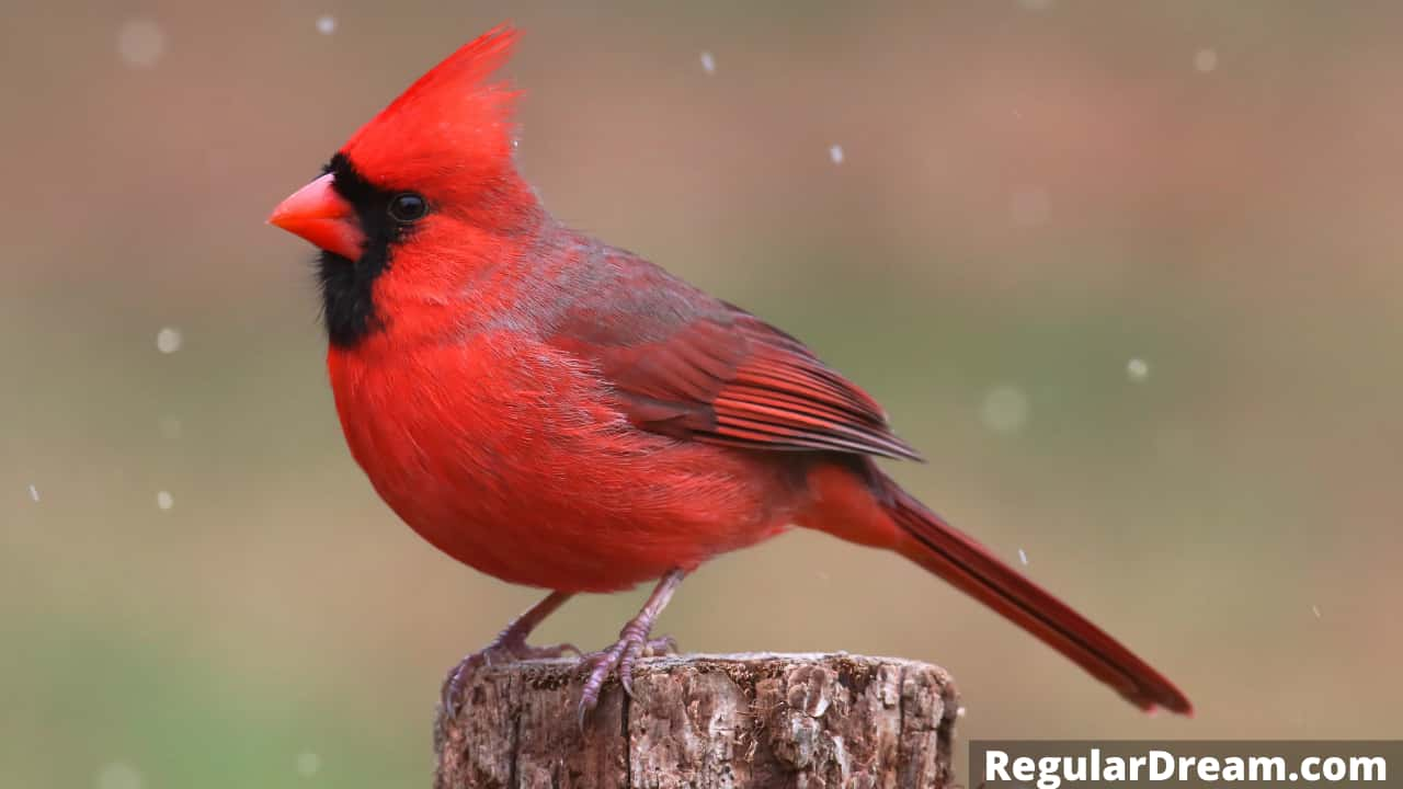 What does dream about Cardinal means? Does it has a special significance?