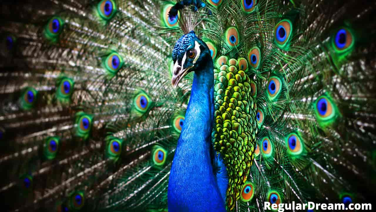 What does dream about peacock means? Does Peacock dream mean something? Regular Dream