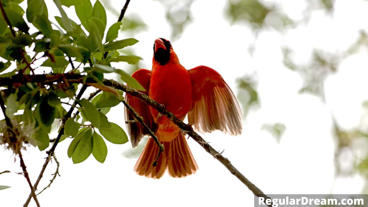 What does it mean to dream about Cardinal? Cardinal dream symbolism
