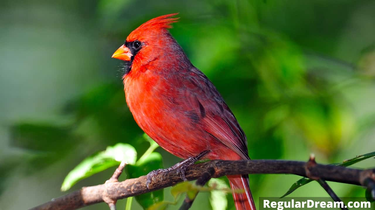 Why I keep dreaming about Cardinal? What does such dream means?