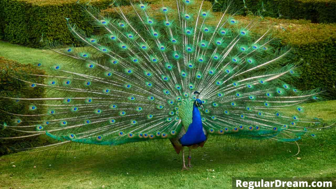 Why do I keep dreaming about peacock and what does it symbolise